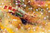 "Shrimp: Spirontocaris truncata<br /> ""The Barge"", Redondo Beach, California<br /> ID thanks to Mary Wicksten."