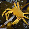 Crab: Pugettia producta, Northern Kelp Crab<br /> Golf Ball Reef, Redondo Beach, California<br /> ID thanks to Andy Lamb