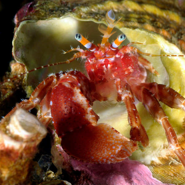 Crab: Phimochirus californiensis, Hermit Crab<br /> Anacapa Island, California<br /> ID thanks to Mary Wicksten