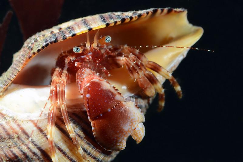 Crab: Phimochirus californiensis, Hermit Crab (?)<br /> Golf Ball Reef, Redondo Beach, California