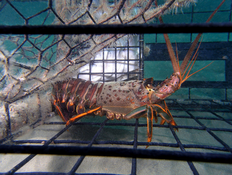 Panulirus interruptus, California Spiny Lobster, in trap