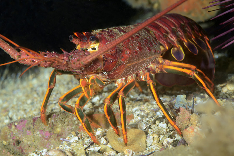 Panulirus interruptus, California Spiny Lobster<br /> The Pinnacles, Palos Verdes, California