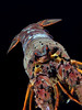 Panulirus interruptus, California Spiny Lobster