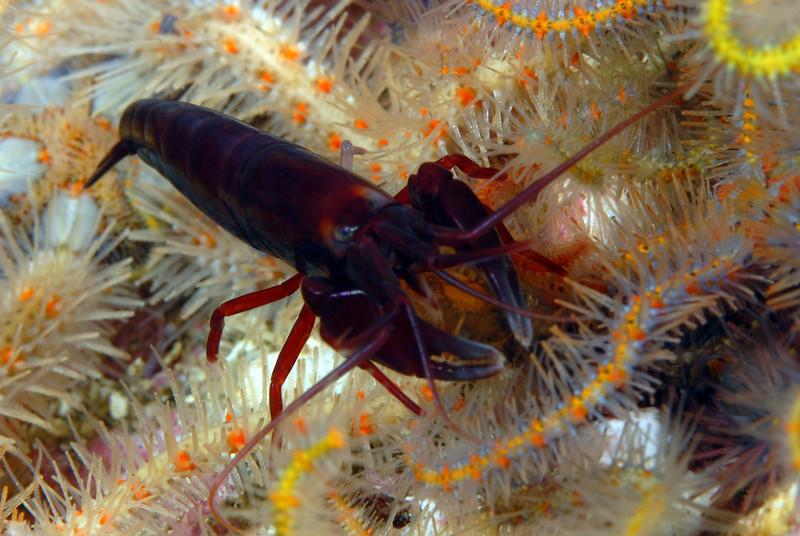 Shrimp: Betaeus macginitieae, Urchin Shrimp