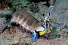 Stomatopoda: Hermiqullia ensigera californienses, Mantis Shrimp<br /> Catalina Island, California
