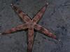 Star: Luidia armata<br /> Redondo Canyon, California