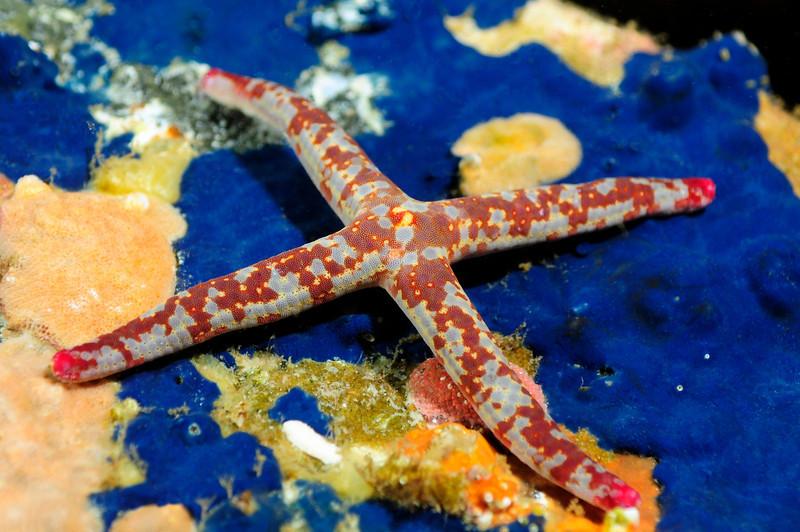 Star: Linckia columbiae, four-armed Fragile Star, on blue encrusting sponge.<br /> Catalina Island, California