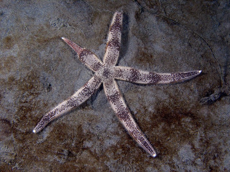 Star: Luidia armata, regenerating one arm<br /> ID thanks to Andy Lamb
