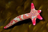 Star: Linckia columbiae, Fragile Star regenerating four arms<br /> Catalina Island, California USA