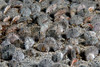 Dendraster excentricus, Sand Dollars, juveniles, approx 1/2 inch<br /> La Jolla Shores, California