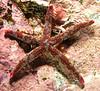 Star: Linckia columbiae, Fragile Star