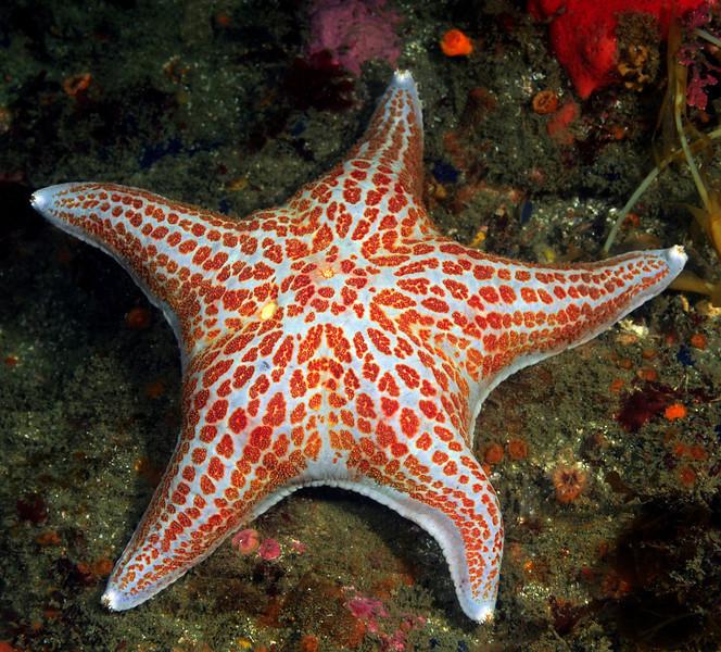 Star: Dermasterias imbricata, Leather Star<br /> Camel Head, Pt. Loma, California