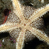 Star: Ophioderma panamensis, Banded Serpent Star, ventral perspective<br /> Golf Ball Reef, Palos Verdes, California
