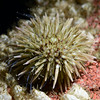 White Urchin, illuminated with strobe snoot.<br /> Redondo Barge, Palos Verdes, California.