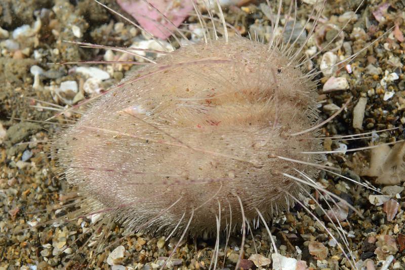 Urchin: Lovenia cordiformis, Heart Urchin<br /> The Pinnacles, Palos Verdes, California