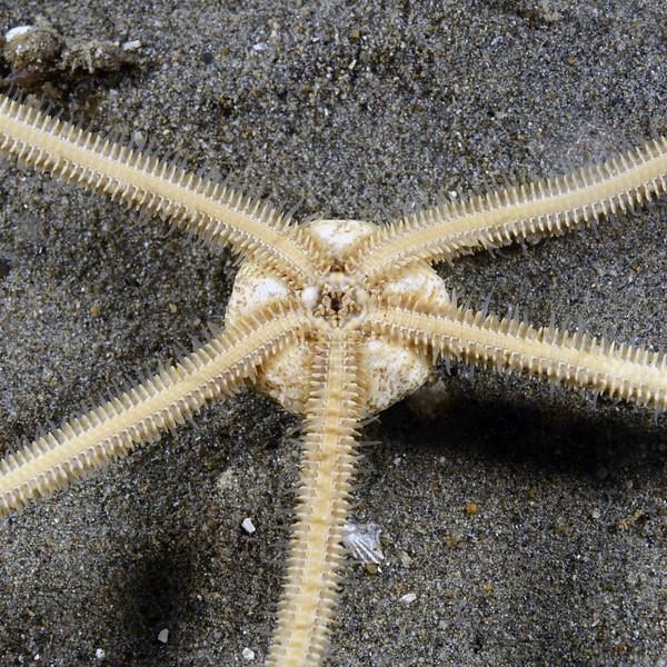 Star: Amphiodia psara<br /> Golf Ball Reef, Redondo Beach, California<br /> ID thanks to Gordon Hendler.