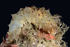Sea Cucumber, juvenile<br /> Golf Ball Reef, Palos Verdes, California