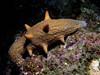 Cuke: Parastichopus parvimensis, Warty Sea Cucumber