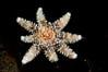 Star: Juvenile Sun Star<br /> Topaz, Redondo Beach, California