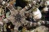 Star: Ophioderma panamensis, Banded Serpent Star<br /> Golf Ball Reef, Redondo Beach, California