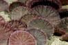 Dendraster excentricus, Sand Dollars<br /> Marine Room, La Jolla Shores, California