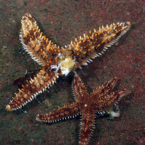 Star: Astrometis sertulifera, Fragile Rainbow Star, with Wasting Disease<br /> The Barge<br /> Palos Verdes, California<br /> ID thanks to Melissa Redfield