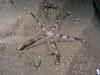 Star: Luidia foliolata, Sand Star<br /> ID thanks to Andy Lamb