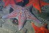 Star: Dermasterias imbricata, Leather Star and Bat stars<br /> Pt. Loma, California