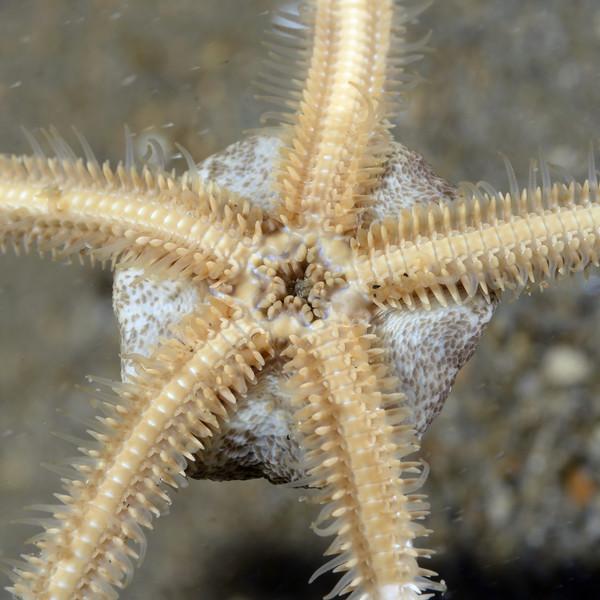 Star: Amphiodia psara, ventral perspective<br /> Golf Ball Reef, Redondo Beach, California