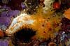 Cuke: Eupentacta quinquesemita, White Sea Cucumber (?)