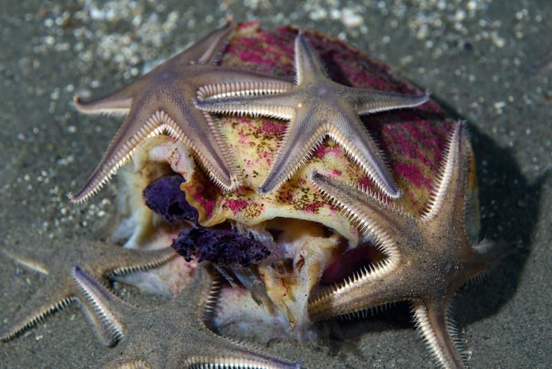 Star: Astropecten armatus/verrilli, Spiny Sand Star, feeding on expired Sea Hare, Aplysia californica<br /> Golf Ball Reef, Redondo Beach, California