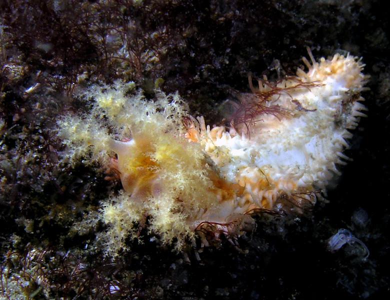 Cuke: Eupentacta quinquesemita, White Sea Cucumber