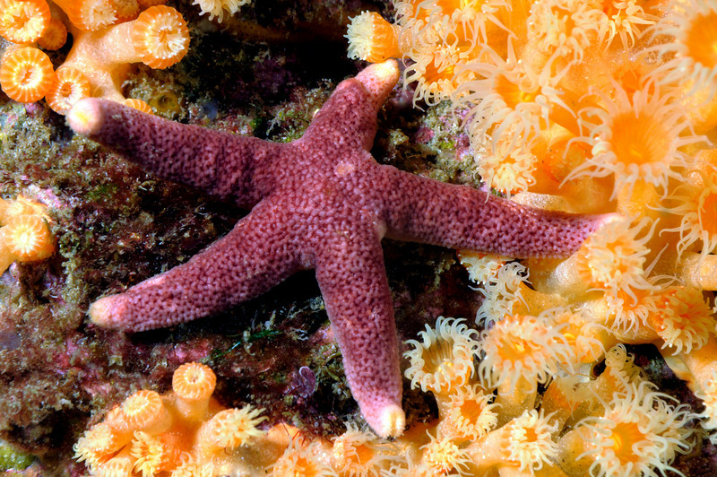 Henricia sp., Blood Star<br /> Catalina<br /> ID thanks to Andy Lamb
