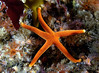 Star: Henricia sp., Blood Star<br /> ID thanks to Andy Lamb