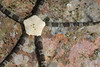 Star: Ophioderma panamensis<br /> Kevin's Reef, Palos Verdes, California<br /> ID thanks to Gordon Hendler