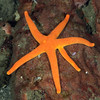 Star: Henricia sp., Blood Star, with extra arm anomaly.<br /> ID thanks to Andy Lamb
