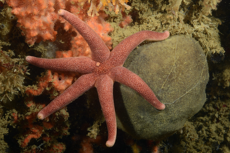Star: Leptasterias aequalis, likely<br /> Pt. Vicente, Palos Verdes, California<br /> ID thanks to Merry Passage