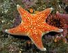 Star: Dermasterias imbricata, Leather Star