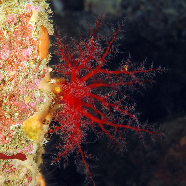 Cuke: Psolus chitonoides, Slipper Sea Cucumber (?)