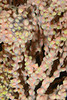 Zoanthid: Parazoanthus lucificum, Zoanthid Anemone<br /> Palos Verdes, California