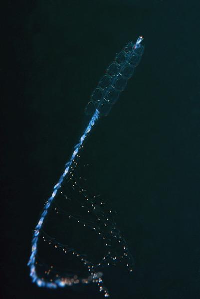 Siphonophore: Nanomia bijuga.<br /> Open water, 3 miles off Redondo Beach, California.<br /> ID thanks to Merry Passage.