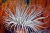 Anemone: Pachycerianthus fimbriatus, Tube Dwelling Anemone