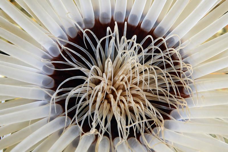 Anemone: Pachycerianthus fimbriatus, Sand dwelling anemone<br /> The Barge<br /> Palos Verdes, California