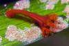 Jelly: Manania gwilliami (STAUROMEDUSAE / STAUROZOA)<br /> Marine Room, La Jolla Shores, California USA<br /> ID thanks to Daphne G. Fautin