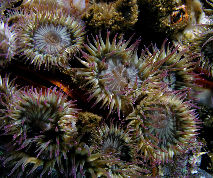 Anemone: Anthopleura elegantissima, Pink-tipped or aggregating anemone. <br /> ID thanks to Andy Lamb.