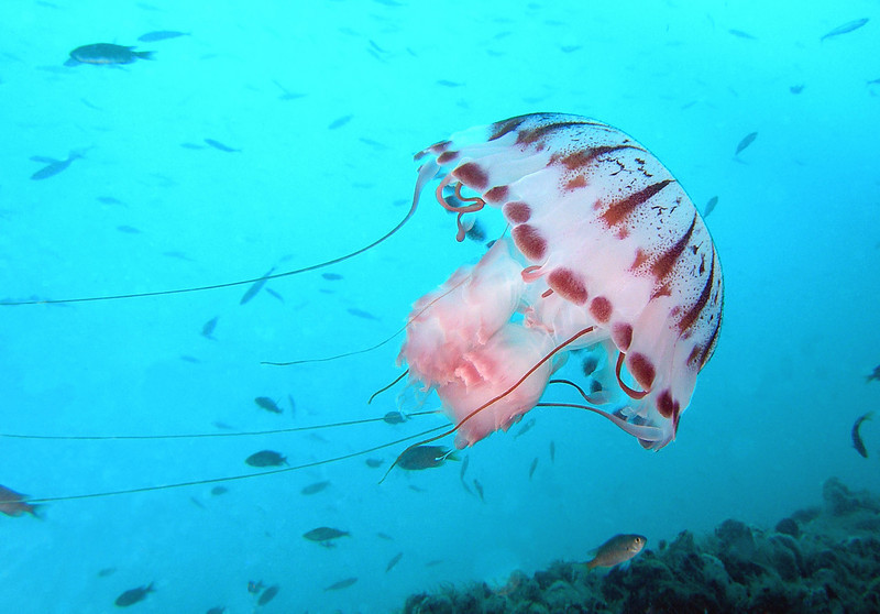 Jelly: Chrysaora colorata, Purple Jelly<br /> Ellie Oil Rig, Catalina Channel