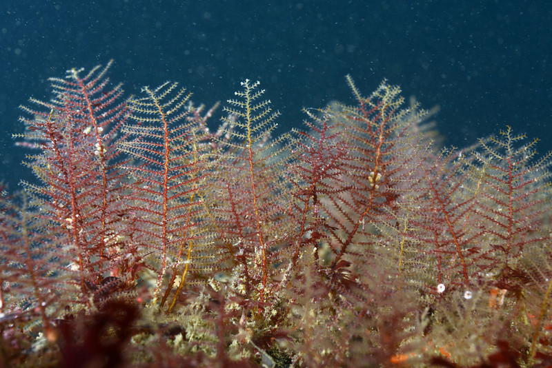Hydroids: Sertulariidae, likely Abietinaria sp.<br /> Wreck of the Avalon, California<br /> ID thanks to Peter Schuchert, Museum of Natural History, Geneve, Switzerland