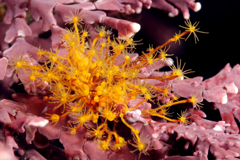 Hydroid: Garveia annulata, Orange Hydroid<br /> Santa Cruz Island, California
