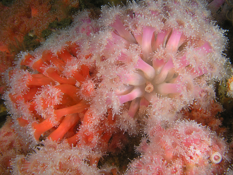 Anemone: Corynactis californica, Club-Tipped Anemone