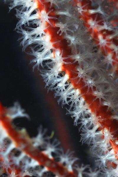 Gorgonian: Lophogorgia chilensis, Red Gorgonian, single strobe<br /> The Barge, Redondo Beach, California